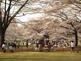 桜・花見客