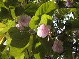 八重桜・葉