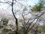 箱根:桜、通りすがり
