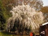 桜・しだれ桜