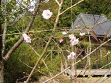梅のような小さな花がぽつぽつと。