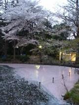 ちとボケたけど、水面が桜色で綺麗でした。
