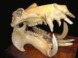 カバ頭蓋骨